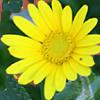 Chrysanthemum myconis