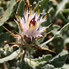 Centaurea lanulata
