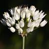 Allium qasyunense