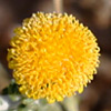 Pulicaria crispa