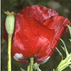 Papaver carmeli