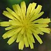 Crepis palaestina