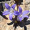 Campanula cymbalaria