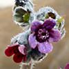 Paracaryum lithospermifolium