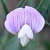 Lathyrus cassius