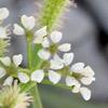 Turgeniopsis foeniculacea