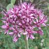 Allium tel-avivense