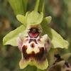 דבורנית צהובת-שוליים