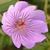 Geranium libanoticum
