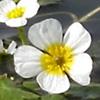 Ranunculus saniculifolius