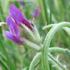 Astragalus callichrous