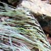 Stipagrostis hirtigluma