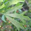 Rhus pentaphylla