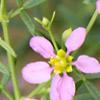 Fagonia tanuifolia