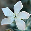 Dianthus monadelphus