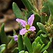 Moenchia erecta