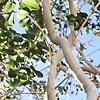 Ficus palmata