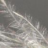 Stipagrostis lanata
