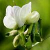 Vicia basaltica