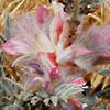 Astragalus bethlehemiticus