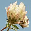 Trifolium plebeium