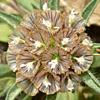 Scabiosa porphyroneura