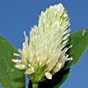 Trifolium berytheum