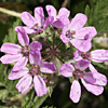 Erodium touchyanum