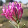 Trifolium prophetarum
