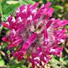 Trifolium blancheanum