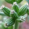 Capnophyllum peregrinum