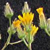 Crepis micrantha