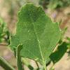 Chenopodium opulifolium