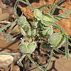 Tordylium  syriacum