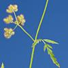 Torilis leptophylla
