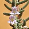 Satureja thymbrifolia