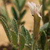 Astragalus hispidulus