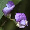 Lathyrus lentiformis