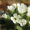 Heliotropium europaeum