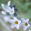 Heliotropium bovei
