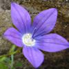Campanula sidoniensis