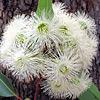 קורימביה יפת-עלים