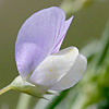 Vicia hulensis