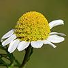 Anthemis cornucopiae