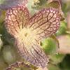 Valerianella dufresnia