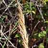 Trisetaria michelii