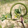 Trigonella spinosa