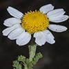 Anthemis amblyolepis