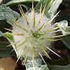 Centaurea eriphora