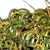 Timiella  barbuloides